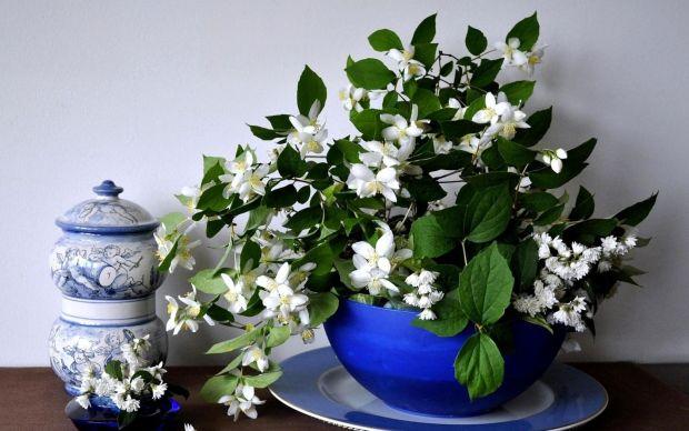 cvijece-jasmin (1)