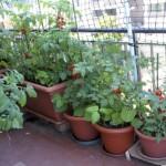 paradajz-balkon