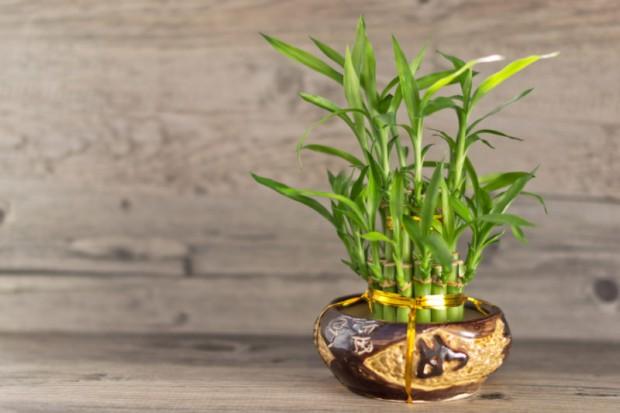 bambus (3)