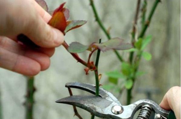 sadjenje-ruza (2)